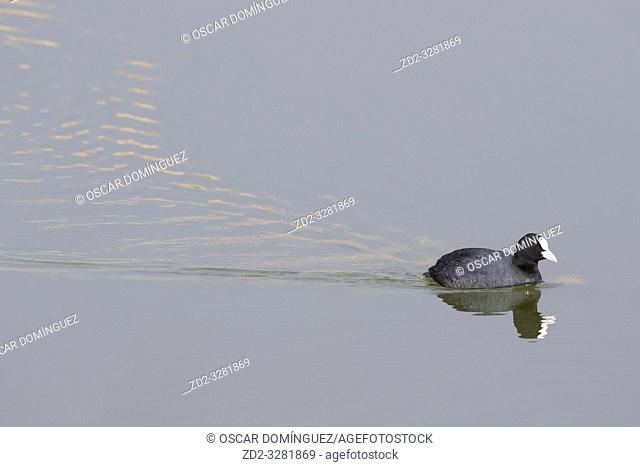 Common Coot (Fulica atra) on water. Natural Areas of the Llobregat Delta. Barcelona province. Catalonia. Spain