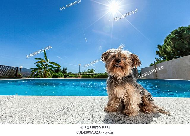 Dog sitting by swimming pool on sunny day