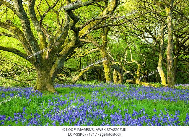 Bluebells in South Downs National Park in West Sussex