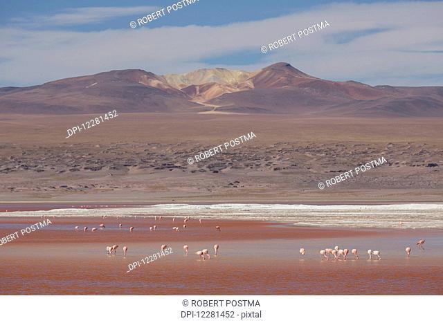 Flamingos feed in the Laguna Colorada, Altiplano region; Bolivia