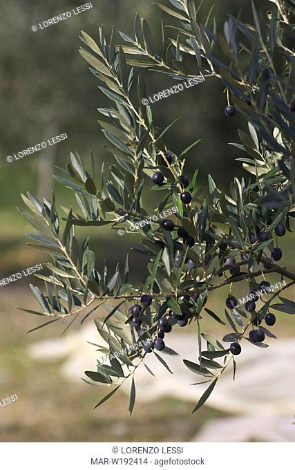 italy, tuscany, castagneto carducci, olive tree