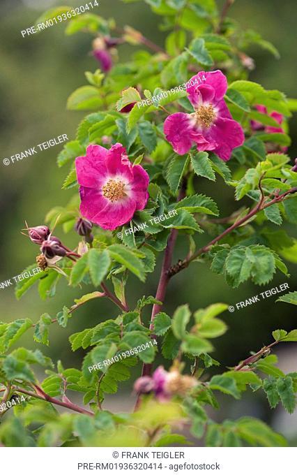 Mountain rose, Rosa pendulina / Gebirgs-Rose, Rosa pendulina