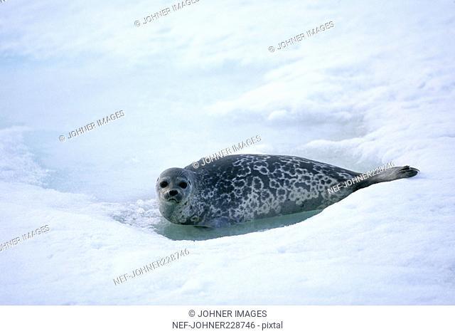 Ringed seal, Svalbard, Norway