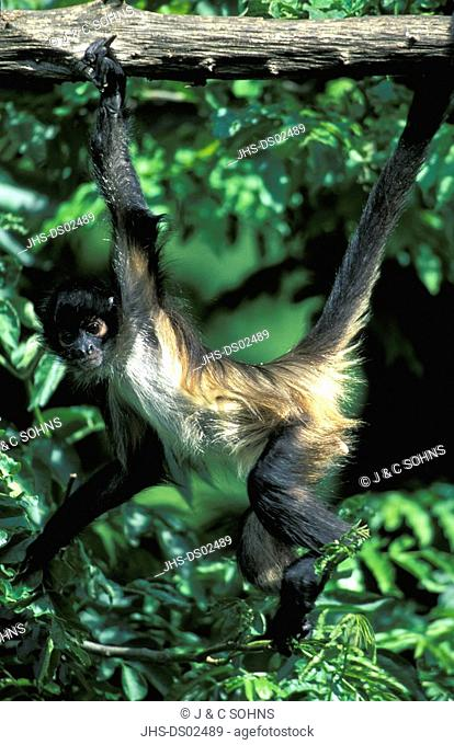 Spider Monkey,Ateles geoffroyi,South America,adult,on tree,searching for food