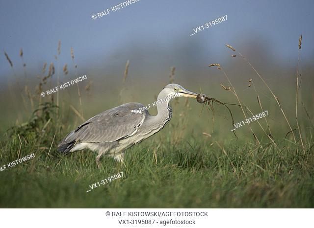 Gray Heron (Ardea cinerea) in typical environment caught am rodent / mouse, successful hunter, with prey.