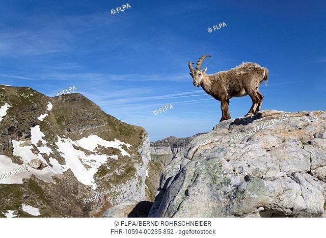 Alpine Ibex (Capra ibex) adult male, standing on rocks in mountain habitat, Niederhorn, Swiss Alps, Bernese Oberland, Switzerland, June