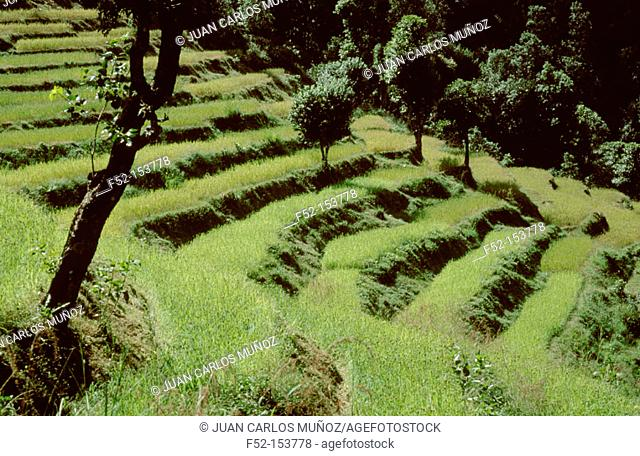 Rice terraces and forest. Pokhara Valley, Nepal