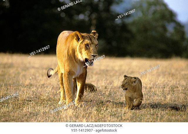 AFRICAN LION panthera leo, FEMALE WITH CUB WALKING ON DRY GRASS, KENYA