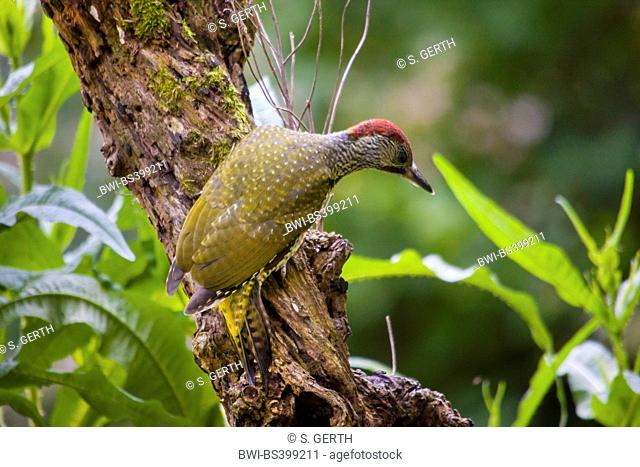 green woodpecker (Picus viridis), young green woodpecker on the feed, Switzerland, Sankt Gallen