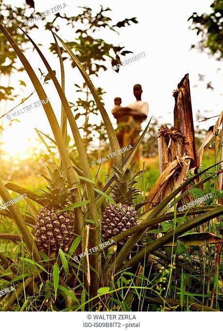 Pineapples growing in foreground, two people in background behind, Birayi, Bujumbura, Burundi, Africa