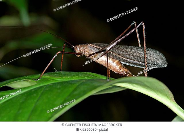 Bush-cricket (Pseudophyllinae spec.), Tiputini rainforest, Yasuni National Park, Ecuador, South America