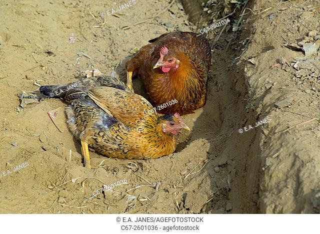Domestic Chickens enjoying a dust bath
