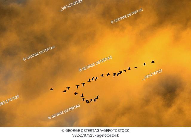 Snow geese (Anser caerulescens) silhouette in flight, Fir Island Farms Reserve, Skagit Wildlife Area, Washington