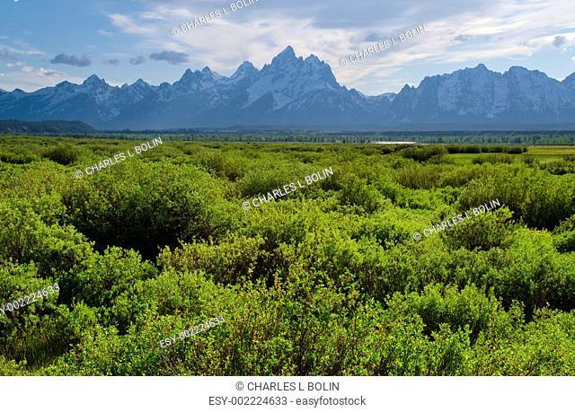Shrub willows and the Teton Mountains in early summer, Grand Teton National Park, Teton County, Wyoming, USA