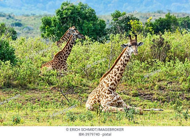 Giraffes (Giraffa camelopardalis), lying down in scrubland, Arusha Region, Tanzania