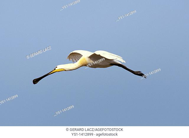 WHITE SPOONBILL platalea leucorodia FLYING AGAINST BLUE SKY