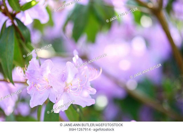 Atmospheric and Romantic Blue Azalea Shrub