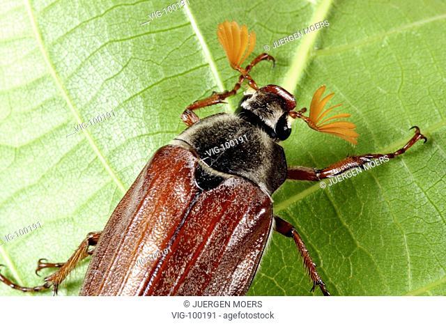Cockchafer, Maybug.  - DORSTEN, GERMANY, 01/06/2004