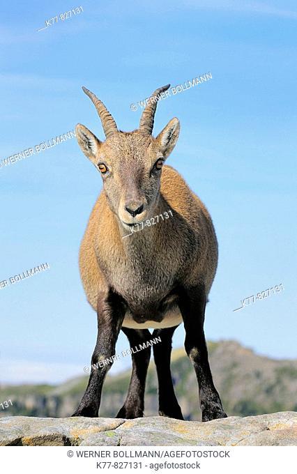 Alpine Ibex (Capra ibex), female/goat. Niederhorn, Switzerland