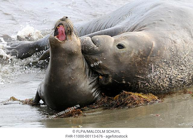 Northern Elephant-seal Mirounga angustirostris adult pair, mating in surf on beach, San Benitos Island, Baja California, Mexico