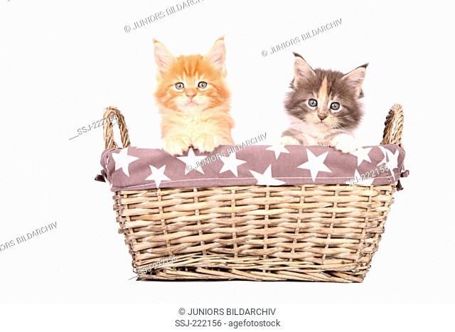 American Longhair, Maine Coon. Pair of tabby kittens (6 weeks old) looking out from a wicker basket. Germany. Studio picture seen against a white background