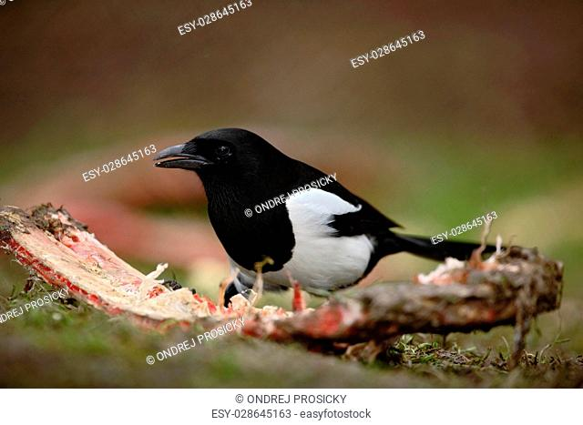European Magpie or Common Magpie, Pica pica, black and white bird
