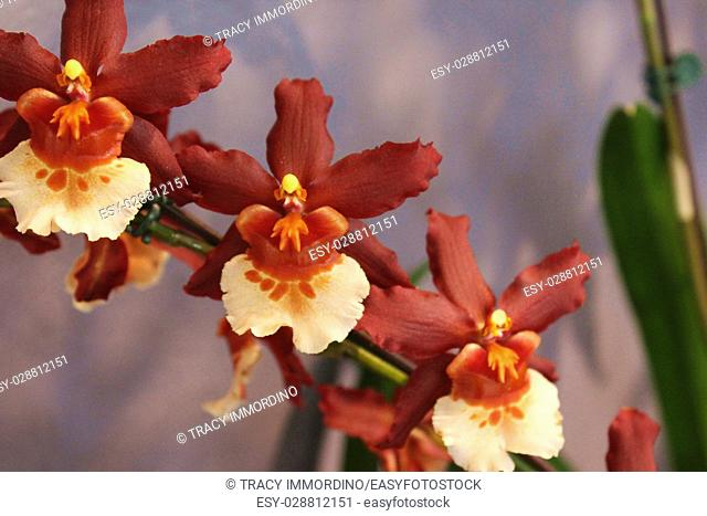 Close up of a blooming branch of brown, yellow and orange Oncidium orchids