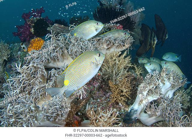Gold-saddle Rabbitfish Siganus guttatus adults, school swimming amongst soft coral in reef, Mioskon, Dampier Straits, Raja Ampat, West Papua, New Guinea