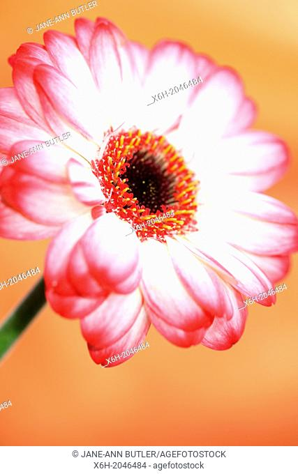 alluring and characterful white and red tipped gerbera on orange background, still life