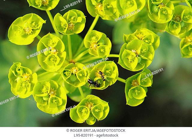 Spurge flowers and harvesting ant, Spain