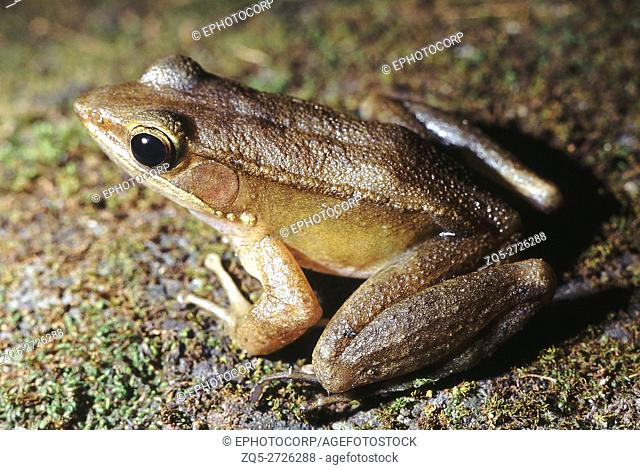Rana Temporalis. Bronze frog. A typical forest dweller. This frog is usually found near perennial streams