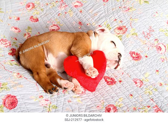 English Bulldog. Puppy (7 weeks old) sleeping on a blue blanket with rose flower print while embracing a red heart. Germany