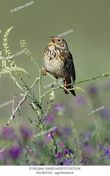 Corn Bunting Emberiza calandra , perched on plant, singing, Portugal
