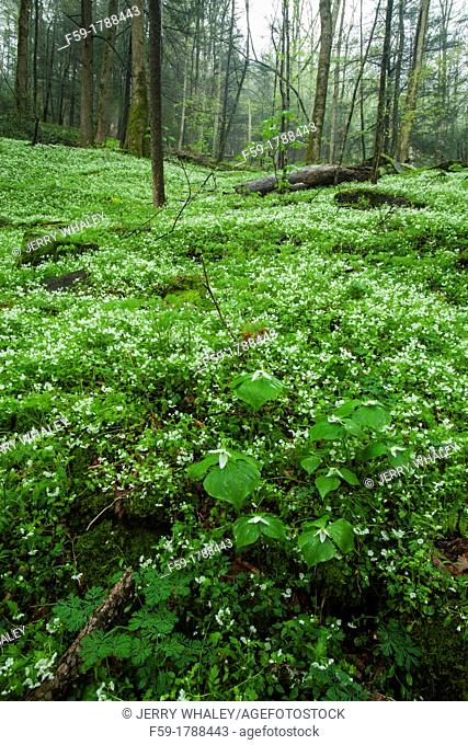 Spring, Phacelia, Great Smoky Mtns National Park, TN
