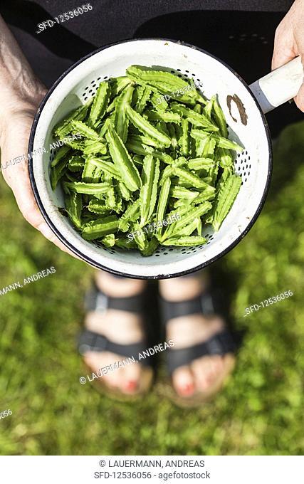 Freshly harvested asparagus peas (Lotus maritimus) in an old enamel colander