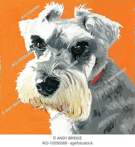 Painting of Miniature Schnauzer dog