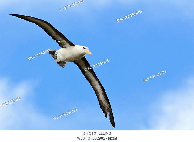 South Atlantic Ocean, British Overseas Territories, Falklands, Falkland Islands, West Falkland, West Point Island, Wandering albatross flying in the sky