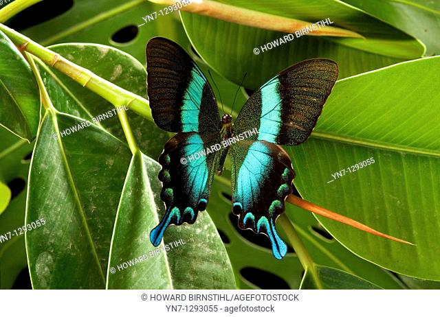 Swallowtail butterfly Papilo ulysses on rubber plant leaf