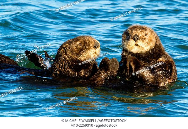 Sea Otters swimming in Moss Landing, California, USA