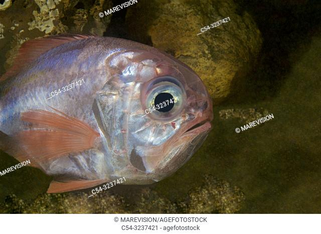 Deep sea. Black-mouthed Alfonsin. Rough-fish. Silver roughy. (Hoplosthetus mediterraneus). Eastern Atlantic. Galicia. Spain. Europe