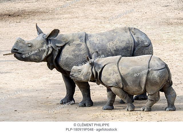 Indian rhinoceros (Rhinoceros unicornis) female with young in zoo