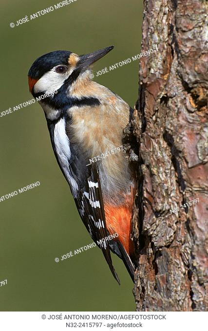 Great Spotted Woodpecker (Dendrocopos major). Malaga, Andalusia, Spain