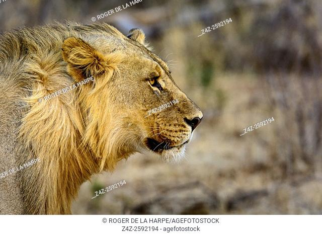 Lion (Panthera leo). Madikwe Game Reserve. North West Province. South Africa
