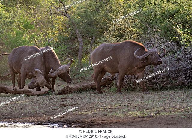 South Africa, Mpumalanga region, the South Kruger National Park, buffalos (Syncerus caffer)