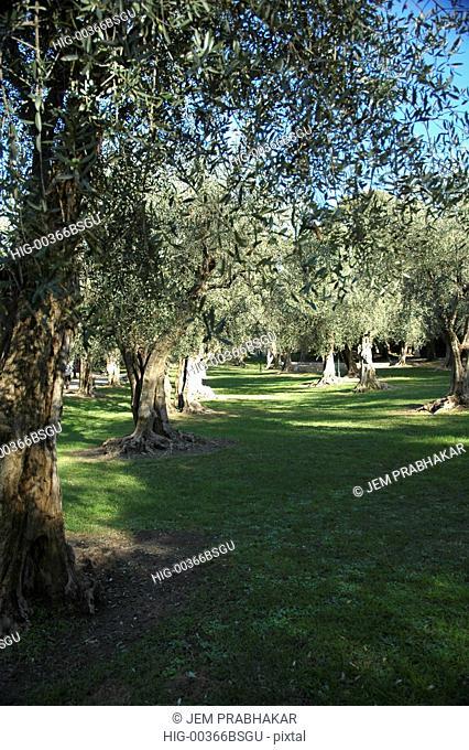 OLIVE TREES, FRANCE
