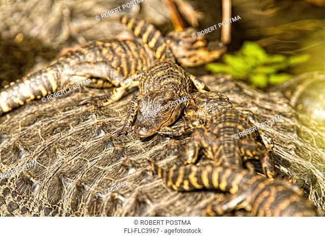 Juvenile American alligators on back of mother, Everglades National Park, Florida