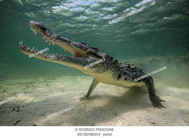 Territorial American croc (Crocodylus acutus) on seabed, Chinchorro Banks, Mexico