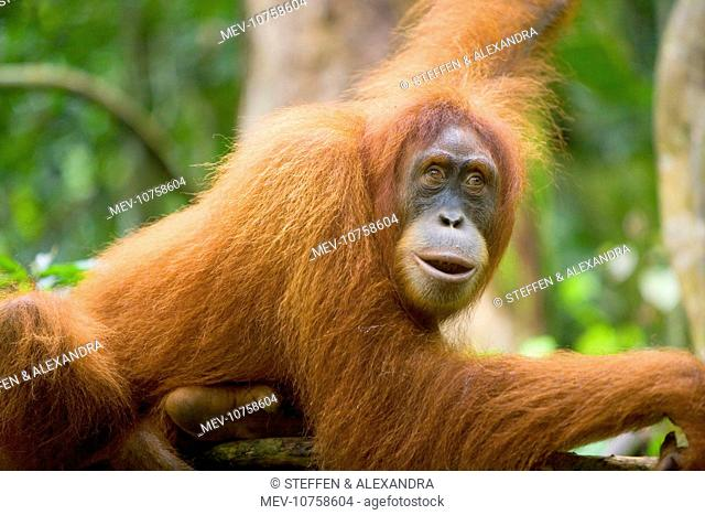 Sumatran Orangutan - portrait of an adult lying comfortably on a tree branch in a sumatran rainforest. (Pongo abelii)