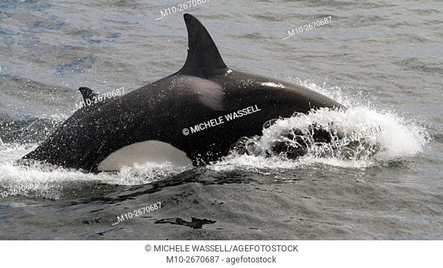 Killer Whales (Orcas)chasing and attacking a Pacific White Sided Dolphin on Monterey Bay, California, USA