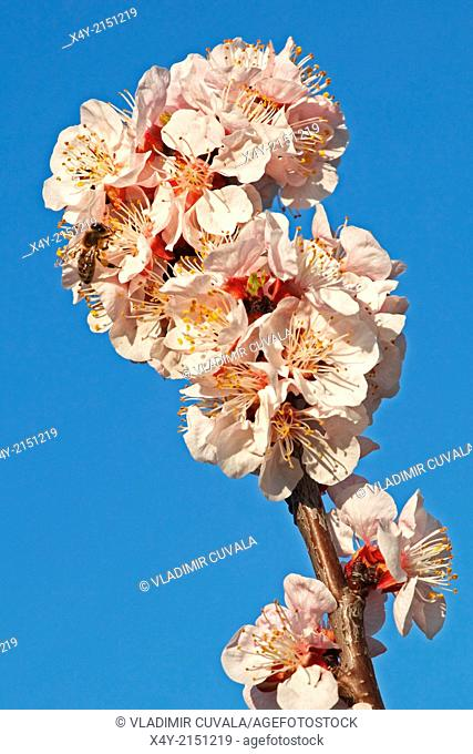 European honey bee (Apis mellifera) collecting nectar on Apricot flowers (Prunus armeniaca), variety Bhart. Location: Male Karpaty, Slovakia